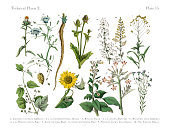 Wildflowers, Annual and Perennial Plants, Victorian Botanical Illustration