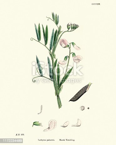 Vintage engraving of Lathyrus palustris is a species of wild pea known by the common name marsh pea. It is native to Europe, Asia, and North America. It is a perennial herb with leaves made up of oval-shaped or oblong leaflets a few centimeters long. It has branched, coiled tendrils.