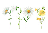 set of white daisies, yellow, blue, pink wildflowers, watercolor illustration on a white background