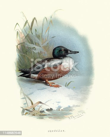 Vintage engraving of The northern shoveler (Spatula clypeata), known simply in Britain as the shoveler, is a common and widespread duck.  Familiar Wild Birds, W Swaysland.