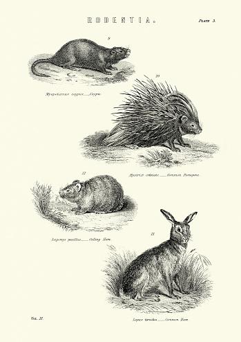 Wildlife, Coypu, Porcupine, Calling hare, Common hare
