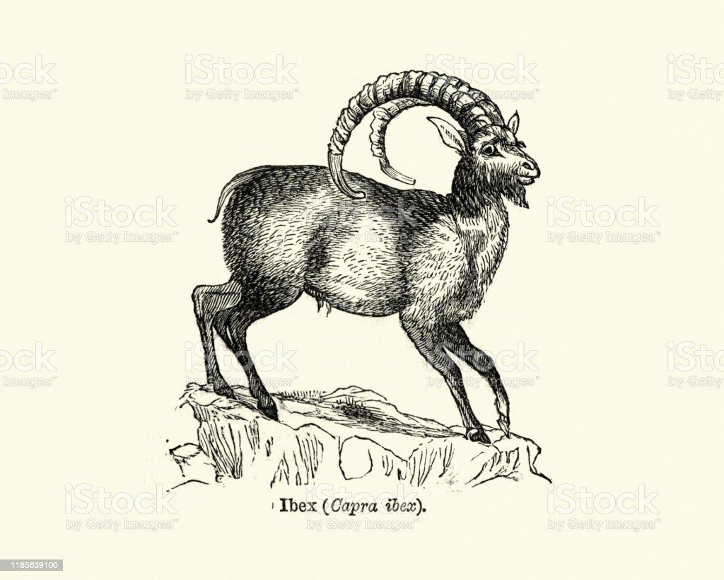 Wildlife Wild Goat Alpine Ibex Stock Illustration - Download Image Now -  iStock