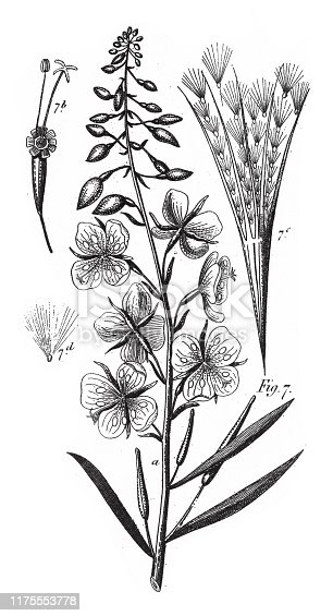 Willow Herb, Plants Indigenous to Sandy or Rocky Soil; A Sandalwood, and Representatives of the Order Myrtales Engraving Antique Illustration, Published 1851. Source: Original edition from my own archives. Copyright has expired on this artwork. Digitally restored.