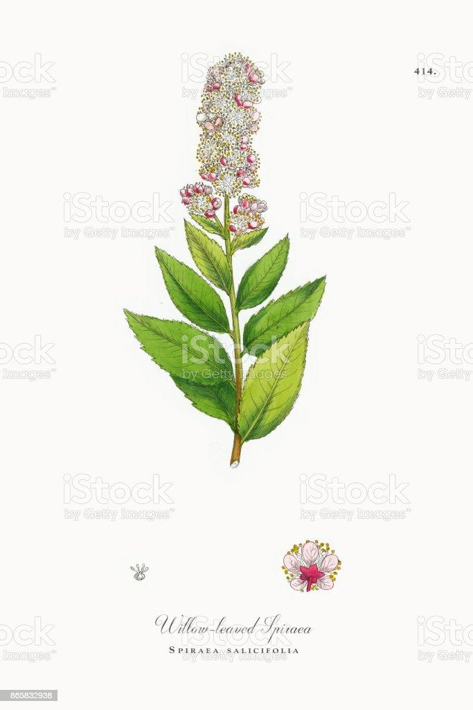 Willow-leaved Spiraea, Spiraea salicifolia, Victorian Botanical Illustration, 1863 vector art illustration