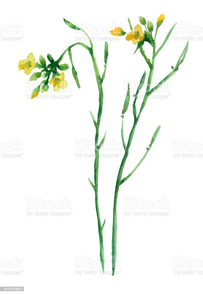 Winter Cress Yellow Flowers Watercolor Hand Drawn Illustration