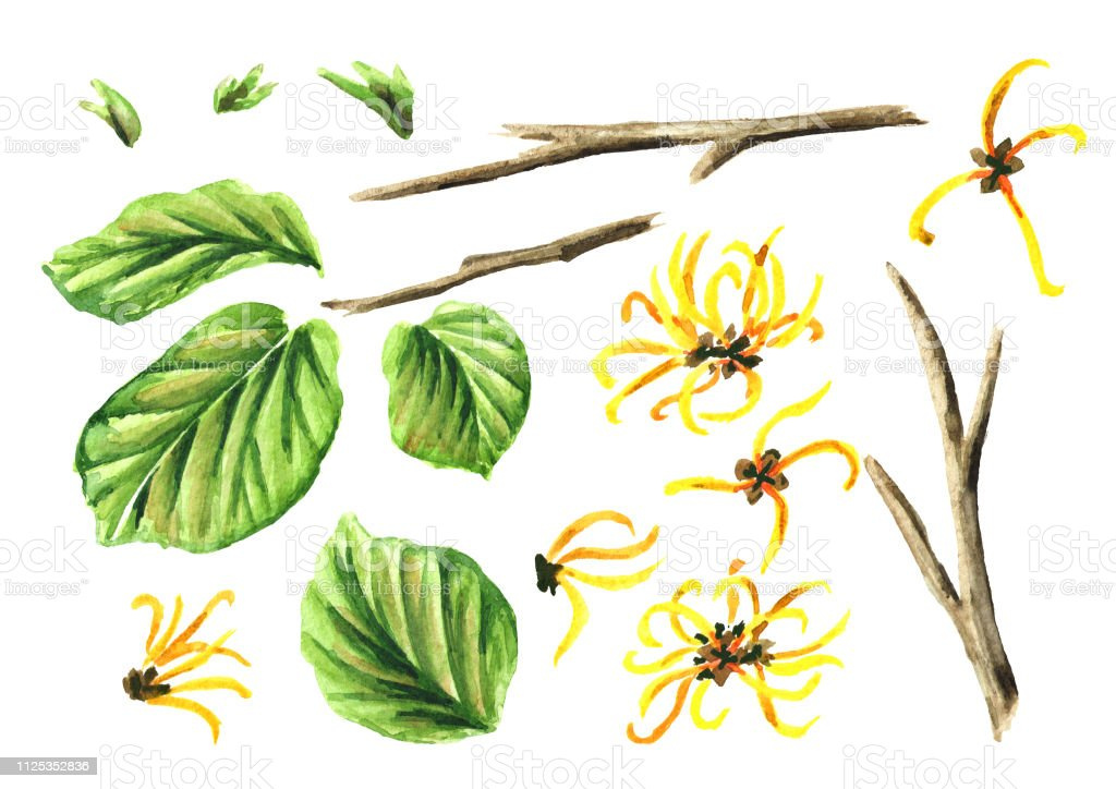 Witch Hazel Elements Set With Leaves And Flowers Medicinal Plant Hamamelis Watercolor Hand Drawn Illustration Isolated On White Background Stock Illustration Download Image Now Istock
