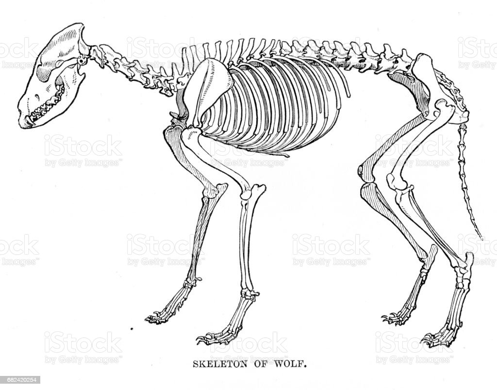 Wolf Skeleton Engraving 1894 Stock Vector Art More Images Of