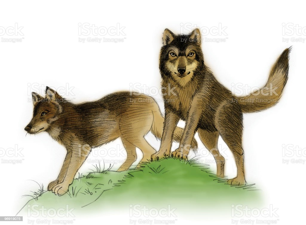 Wolves watercolor royalty-free wolves watercolor stock vector art & more images of animal
