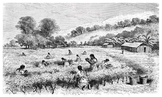 Woman harvesting coca leaves in Bolivia South America 1877