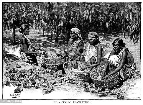 Celanese women shelling cocoa beans into baskets in 19th century Ceylon (Sri Lanka). The beans were shipped to the United