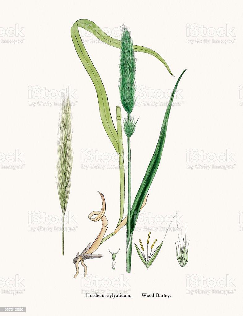 Wood barley grass vector art illustration