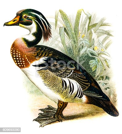 Antique illustration of a Wood Duck (Aix sponsa)