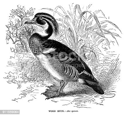 Wood duck - Scanned 1885 Engraving