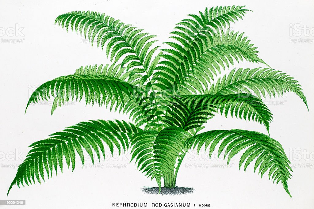 Wood fern 19 century litho by Linden vector art illustration