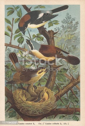 1) Woodchat shrike (Lanius senator), 2a) Red-backed shrike, male (Lanius collurio), 2b) female. Chromolithograph, published in 1896.