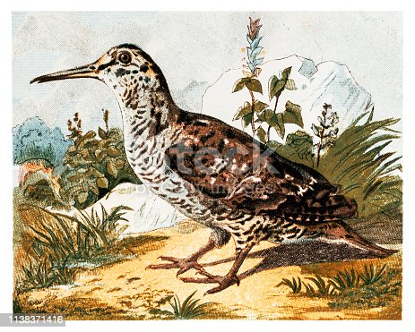 Illustration of a Woodcock