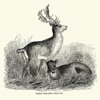 Woodcut of Fallow Deer