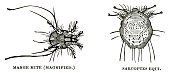 woodcut of parasitic mites