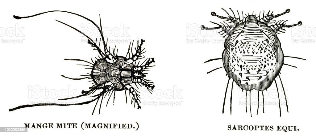 woodcut of parasitic mites векторная иллюстрация