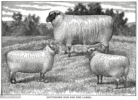Woodcut of Southdown ram and ewe lambs. Dewey, delineator and Breeder