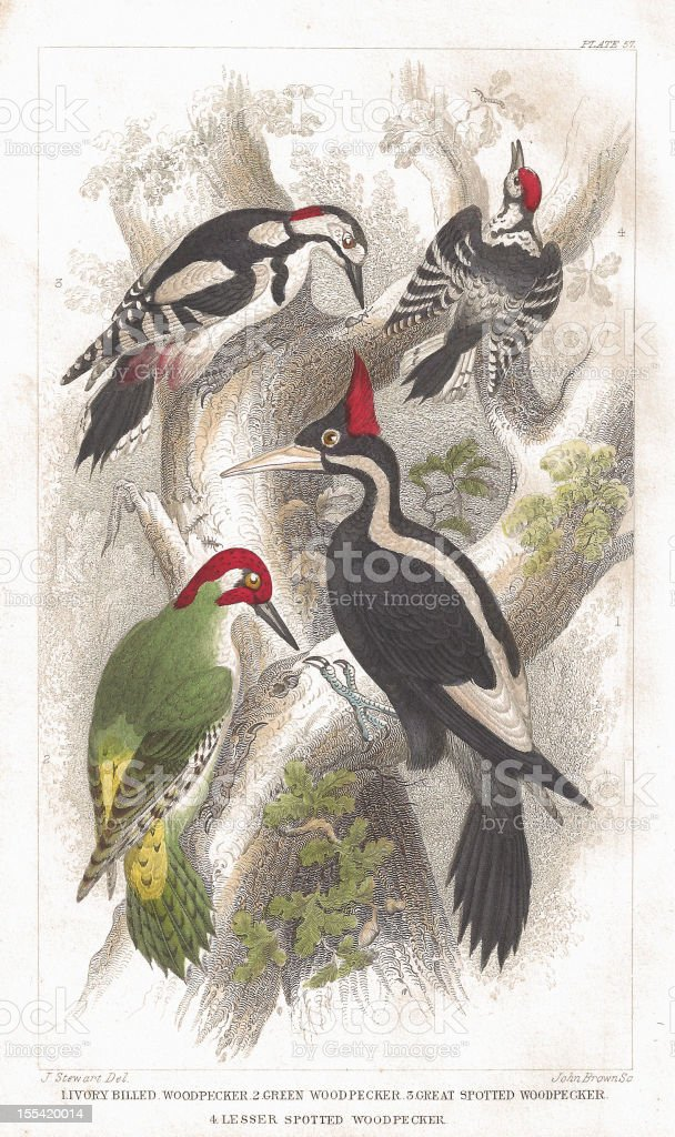 Woodpecker old litho print from 1852 vector art illustration