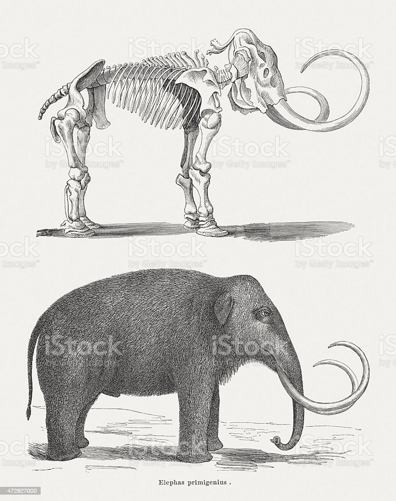 Woolly mammoth, skeleton and body, wood engraving, published in 1875 vector art illustration