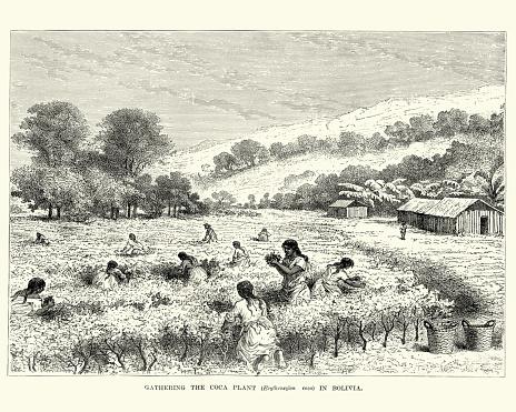 Workers harvesting Coca plants, Bolivia, 19th Century