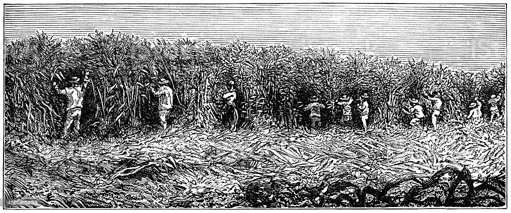 Workers in a sugar-cane field, South Carolina (1882 engraving) vector art illustration