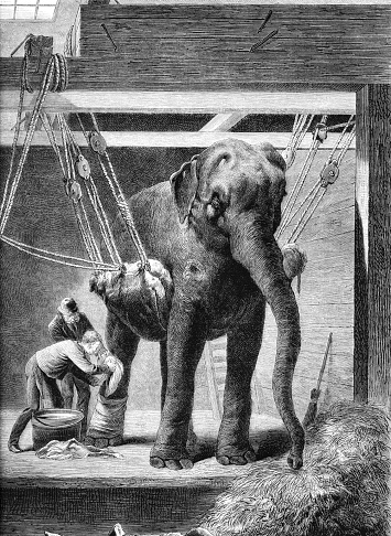 Wounded elephant receiving treatment