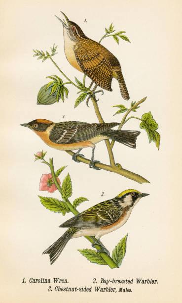 stockillustraties, clipart, cartoons en iconen met wren en grasmus vogel lithografie 1890 - zanger vogel