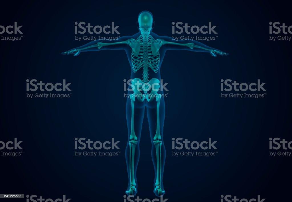 X-Ray Human Skeletal System vector art illustration