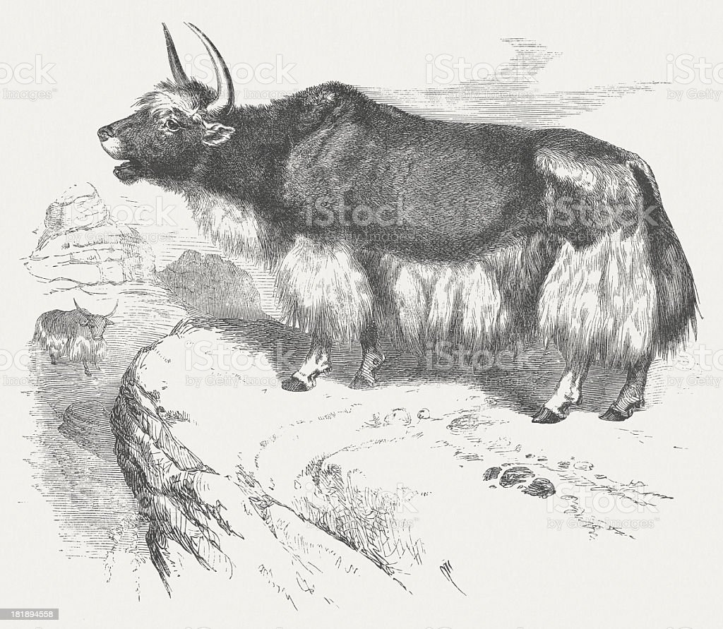 Yak (Bos mutus), wood engraving, published in 1875 royalty-free stock vector art