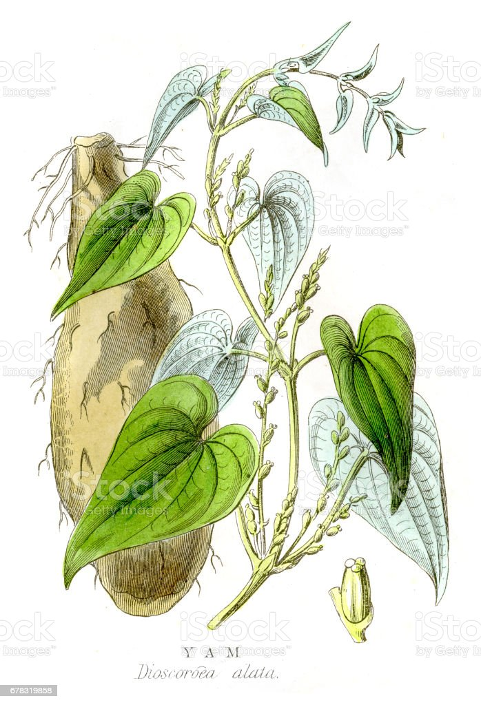 Yam engraving 1857 vector art illustration