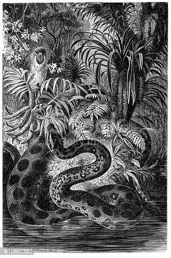 Illustration of a Yellow anaconda (Eunectes notaeus)