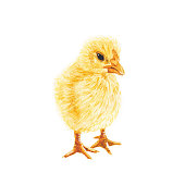 istock Yellow Baby Chick - Original Watercolor Painting 1215209433