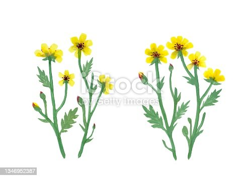 istock Yellow Flowers on White background 1346952387