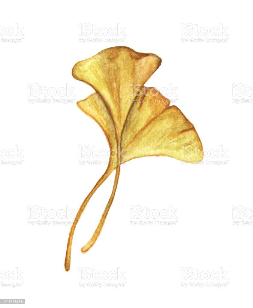 Yellow Leaves Ginkgo Isolated On White Background Autumn Botanical ...