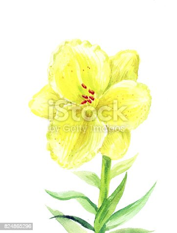 Yellow lily watercolor. Illustration of a daylily. One flower on a white background.