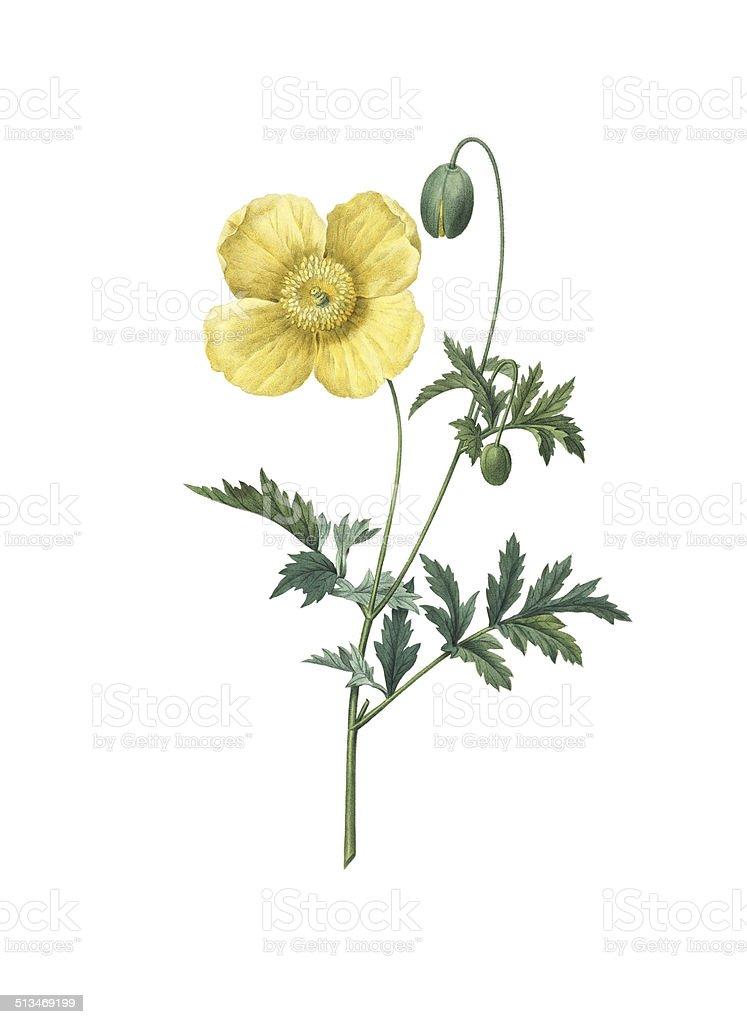 Yellow poppy   Redoute Flower Illustrations向量藝術插圖