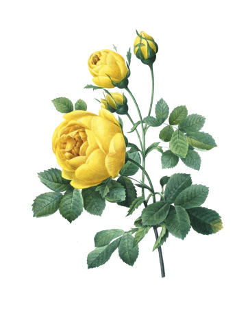 High resolution illustration of a yellow rose, isolated on white background. Engraving by Pierre-Joseph Redoute. Published in Choix Des Plus Belles Fleurs, Paris (1827).