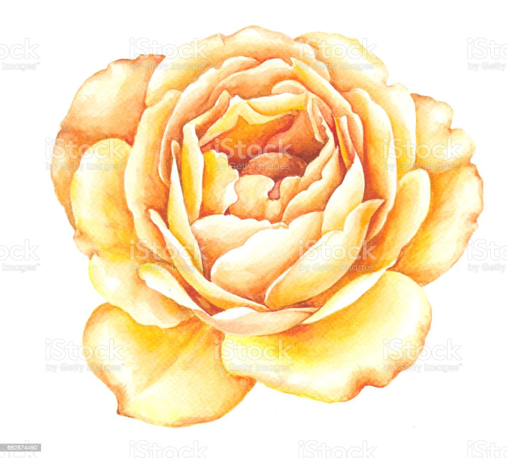 Yellow Rose Watercolor Illustration Watercolor Roses Flowers Vintage