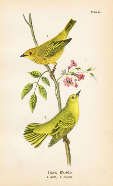 stockillustraties, clipart, cartoons en iconen met gele zanger vogel lithografie 1890 - amerikaanse zangers