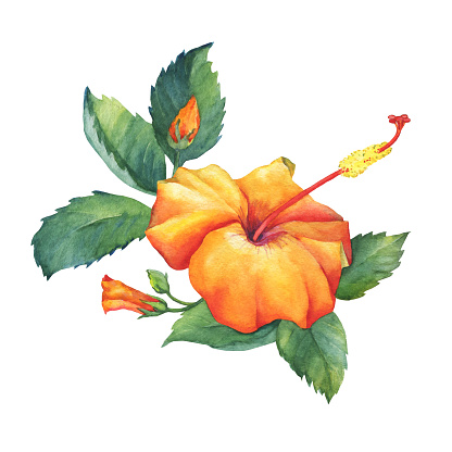 Yellowred Hibiscus Flower Watercolor Hand Drawn Painting