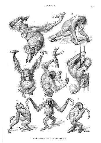 Young orangutans and gibbons engraving 1894