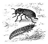 Illustration of a Zabrus tenebrioides beetle and larva
