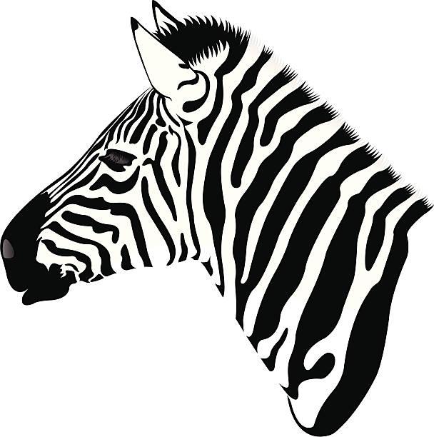 Best Black And White Zebra Head Illustrations, Royalty ...