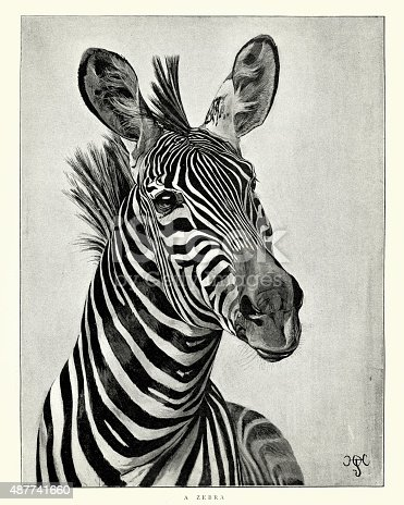 Vintage engraving of Zebra. The Graphic, 1897