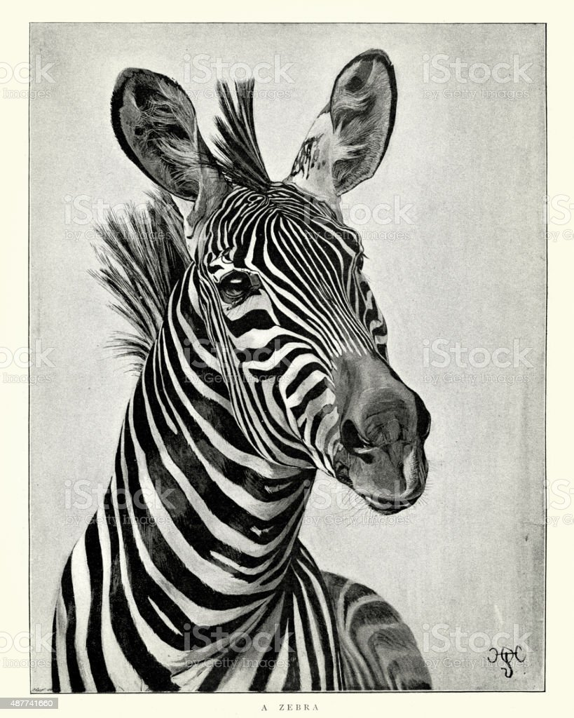 Zebra vector art illustration