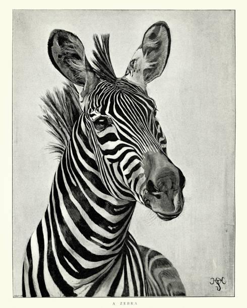 ilustrações de stock, clip art, desenhos animados e ícones de zebra - padrões zebra