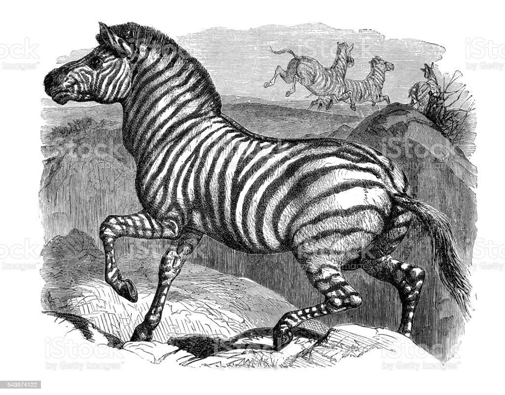 Zebra running in Africa engraving 1880 vector art illustration